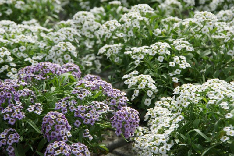 danske agurker dyrkes